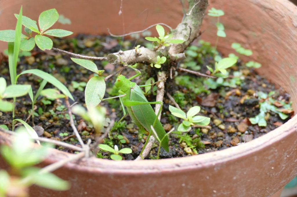 バッタと鉢植え